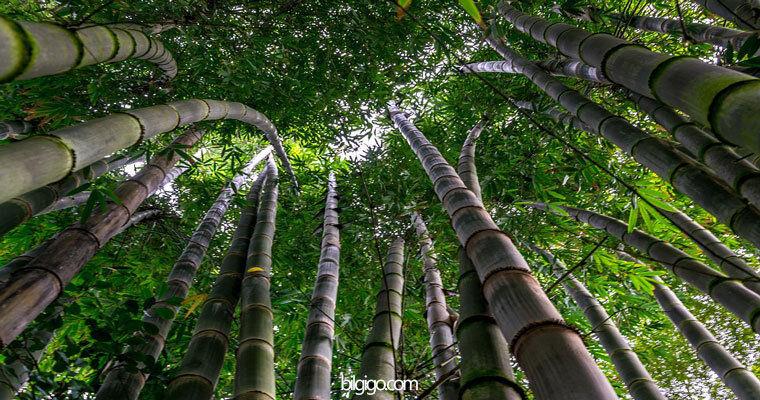 bambu ağacı resmi